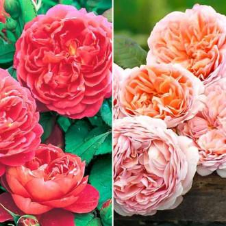 Суперпредложение! Комплект английских роз Дуо из 2 сортов рисунок 8