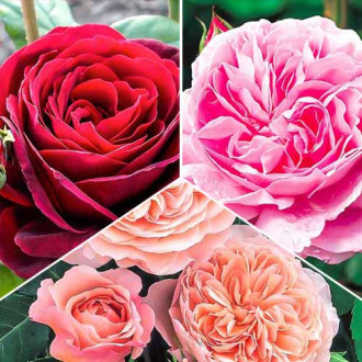 Суперпредложение! Комплект английских роз Триколор из 3 сортов рисунок 1