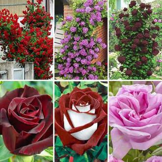 Суперпропозиція! Комплект чайно-гібридних та плетистих троянд з 6 сортiв зображення 3