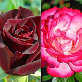 Суперпредложение! Комплект чайно-гибридных роз Блэк энд Вайт из 2 сортов рисунок 1