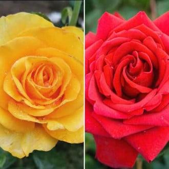 Суперпропозиція! Комплект чайно-гібридних троянд Дуо з 2 сортів зображення 3