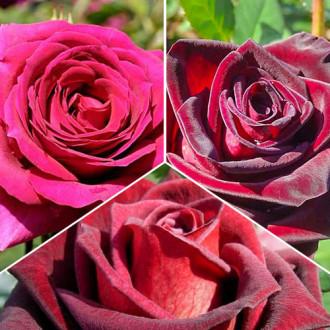 Суперпредложение! Комплект чайно-гибридных роз Триколор из 3 сортов рисунок 5