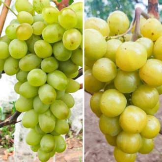 Суперпропозиція! Комплект винограду Новий подарунок Запоріжжя і Прима України з 2 сортів зображення 2