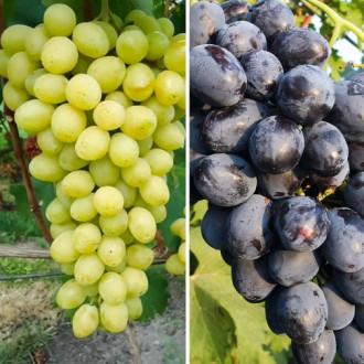 Суперпредложение! Комплект виноградов Слава Украине и память Небесной Сотни из 2 сортов рисунок 6
