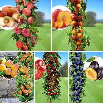 Суперпредложение! Комплект колоновидных деревьев Любимые фрукты из 5 саженцев рисунок 3