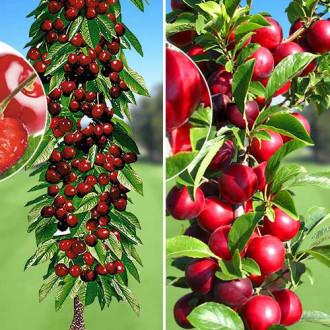 Суперпредложение! Комплект колоновидных деревьев Урожайная парочка из 2 саженцев рисунок 2