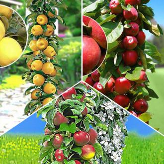 Суперпредложение! Комплект колоновидных яблонь Гурман из 3 саженцев рисунок 8