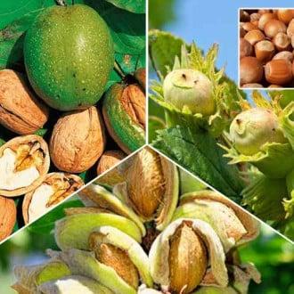 Суперпропозиція! Комплект горіхів з 3 саджанців: зображення 8