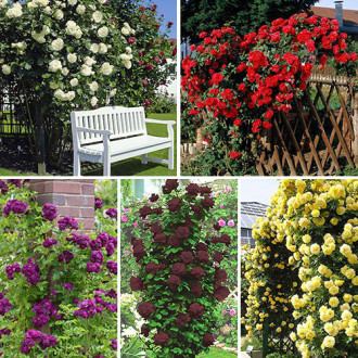 Суперпропозиція! Комплект плетистих троянд Кольоровий Мікс з 5 сортiв зображення 2