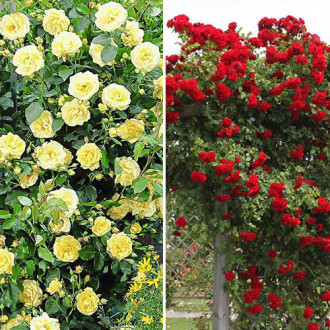 Суперпропозиція! Комплект плетистих троянд Дуо з 2 сортiв зображення 4
