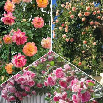 Суперпропозиція! Комплект плетистих троянд Тріо з 3 сортiв зображення 6