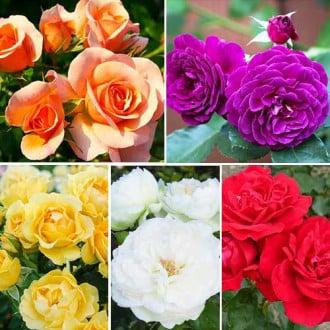 Суперпропозиція! Комплект троянд флорібунда Кольоровий Мікс з 5 сортiв зображення 6