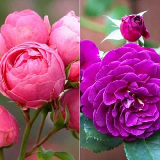 Суперпропозиція! Комплект троянд флорібунда Дуо з 2 сортiв зображення 4