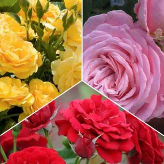 Суперпропозиція! Комплект троянд флорібунда Триколор з 3 сортiв зображення 5