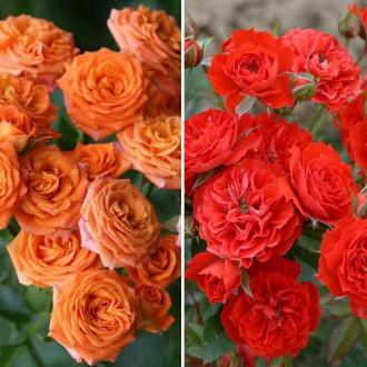 Суперпропозиція! Комплект троянд спрей Дуо з 2 сортiв зображення 5