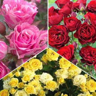 Суперпредложение! Комплект роз спрей Триколор из 3 сортов рисунок 1