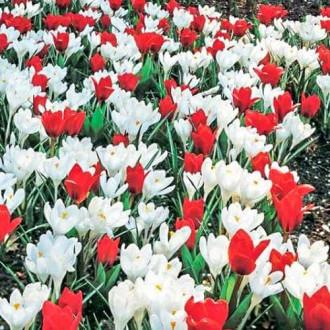 Суперпредложение! Комплект тюльпанов, крокусов из 2-х сортов рисунок 2