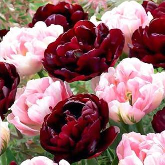 Суперпропозиція! Комплект махрових тюльпанів з 2-х сортів зображення 1