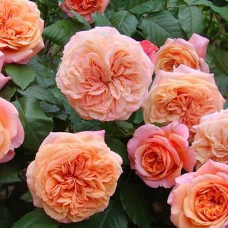 Троянда англійська Чіппендейл зображення 1