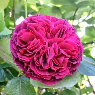 Троянда англійська Фальстаф зображення 7