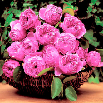 Троянда англійська Леонардо да Вінчі зображення 8
