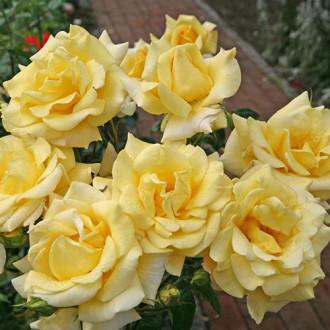 Троянда чайно-гібридна Бероліна зображення 2