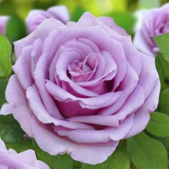 Троянда чайно-гібридна Блакитний Ніл зображення 7