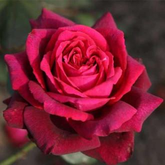 Роза чайно-гибридная Графиня Диана рисунок 5