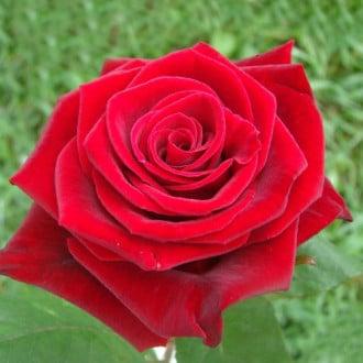 Троянда чайно-гібридна Гран Прі зображення 1