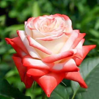 Роза чайно-гибридная Императрица рисунок 2