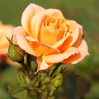 Роза чайно-гибридная Клементина рисунок 2