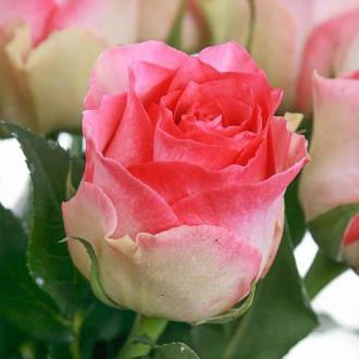 Троянда чайно-гібридна Малібу зображення 3