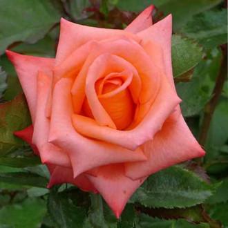Роза чайно-гибридная Миракли рисунок 5