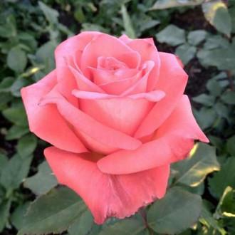 Роза чайно-гибридная Рафаэлло рисунок 2