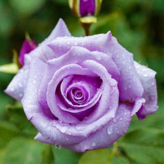 Роза чайно-гибридная Шарль де Голь рисунок 5