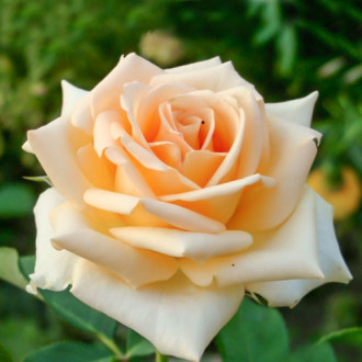 Троянда чайно-гібридна Версілія зображення 3