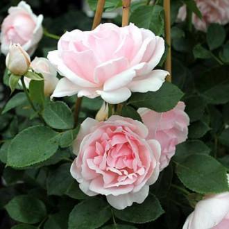 Троянда флорібунда Баллада зображення 4