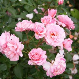 Троянда флорібунда Боттічеллі зображення 4