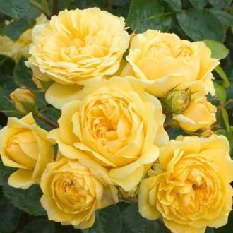 Роза флорибунда Голден Бордер рисунок 6