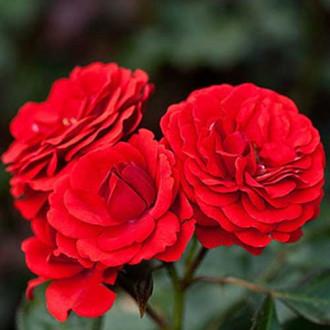 Троянда флорібунда Лілі Марлен зображення 4