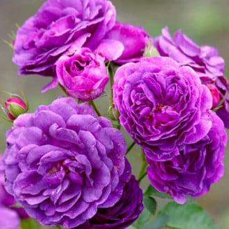 Троянда флорібунда Мінерва зображення 7