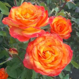 Роза флорибунда Солнечная Девочка рисунок 5