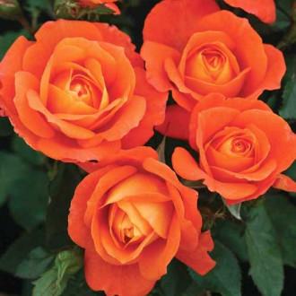 Роза флорибунда Супер Трупер рисунок 3