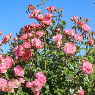 Троянда плетиста Арлекін зображення 2