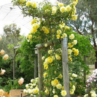 Роза плетистая Эльф рисунок 7