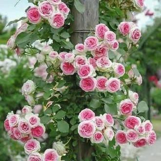 Роза плетистая Эден Роуз рисунок 7