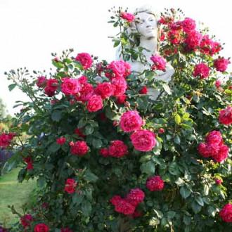 Троянда плетиста Лагуна зображення 7