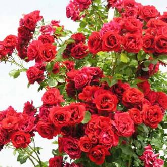 Роза плетистая Симпатия рисунок 8