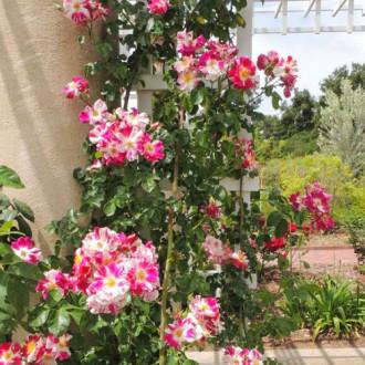 Роза плетистая Твист рисунок 2