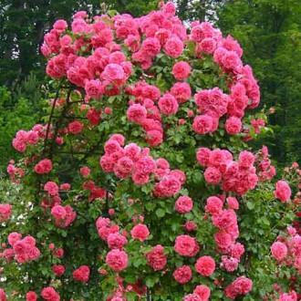Троянда плетиста Ютерсен зображення 1
